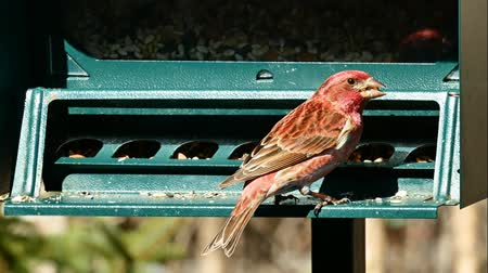 observação de aves : Purple finch, Haemorhous purpureus, on bird feeder on a sunny day in Bemidji Minnesota