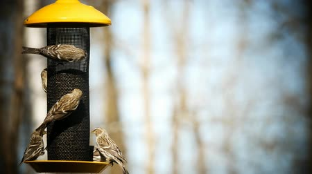 ave canora : Common Redpoll bird, Acanthis flammea, several birds at feeder. Soft background.