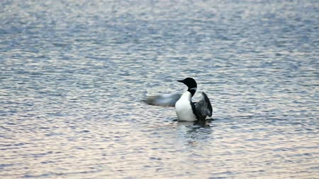 arquipélago : Common Loon, gavia immer, Minneaota state bird rearing up and flapping its wings on a lake in Bemidji