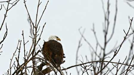 sas : Bald eagle, haliaeetus leucocephalus, perched in a tree in Bemidji Minnesota on cloudy day