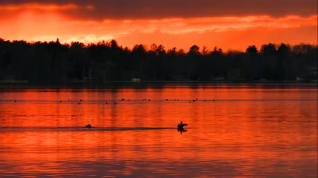впечатляющий : Ducks swim in a beautiful Lake at sunset in Bemidji Minnesota Стоковые видеозаписи