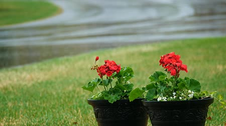 герань : Red Geranium flowers outside in pots during spring rain. Стоковые видеозаписи