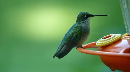 alimentador : A closeup slow motion shot of a hummingbird eating nectar from a hummingbird feeder