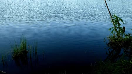 yemyeşil bitki örtüsü : Establishing shot of serene remote lake in forest of northern Minnesota near Bemidji with approaching ripples Stok Video