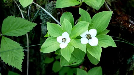 estame : Bunchberry flowers Cornus canadensis or creeping dogwood grow as wildflowers on the forest floor in Bemidji Minnesota closeup