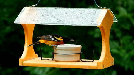 alimentador : Baltimore Oriole eating grape jelly on a bird feeder - two clips