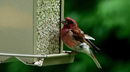 ave canora : Purple finch, Haemorhous purpureus, on bird feeder in Bemidji Minnesota Vídeos