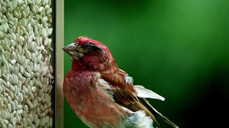 aves : Purple finch, Haemorhous purpureus, on bird feeder in Bemidji Minnesota Stock Footage