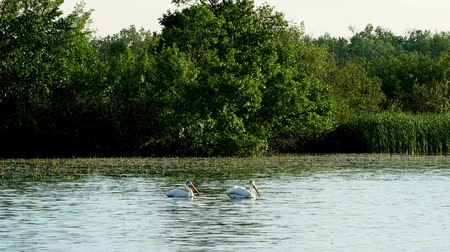 pontoon : Two American white pelicans swim past water lilies on Lake Irving in Bemidji Minnesota