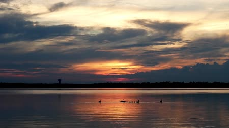 flock of geese : Canada Geese swimming in Lake Irving in Bemidji Minnesota during a beautiful sunset