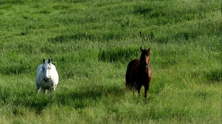 otlama : Pair of horses eating grazing fresh green grass in farm pasture on a summer evening Stok Video