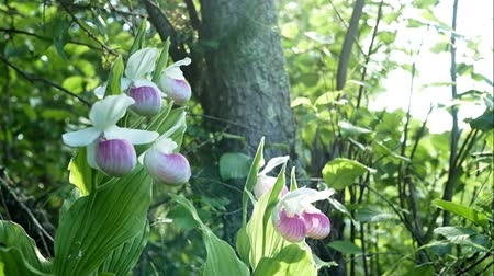 klapki : Showy Ladys-slippers - Cypripedium reginae - also known as Pink-and-white Ladys-slipper or the Queens Ladys-slipper. Beautiful Minnesota State Flower - pink and white in authentic natural setting Wideo