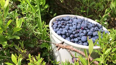 inculto : Healthy organic food - wild blueberries (Vaccinium myrtillus) growing in forest of northern Minnesota Stock Footage