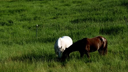 konie : Pair of horses eating grazing fresh green grass in farm pasture on a summer evening Wideo