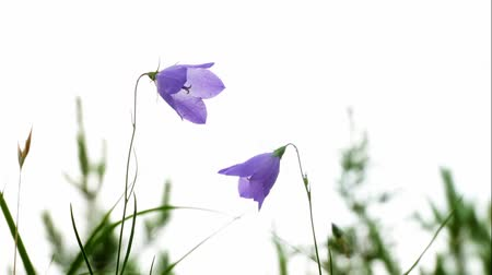 perene : Purple Harebell Flowers, Campanula rotundifolia, closeup on light natural background.