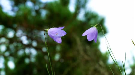 perene : Purple Harebell Flowers, Campanula rotundifolia, closeup on green natural background, selective focus. Stock Footage