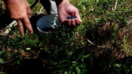 wild berries : Picking Fresh Organic Blueberries and dropping them in a container on a sunny day
