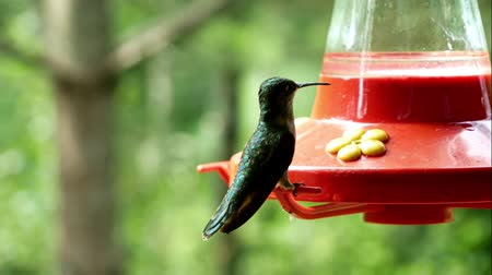 feeder : Female Ruby Throated Hummingbird hovers and perches at feeder with a blurred background Stock Footage