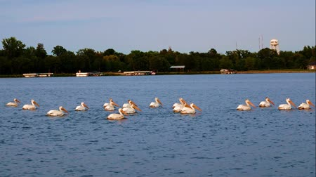 pontoon : American white pelicans swimming on Lake Irving in Bemidji Minnesota as seen from pontoon boat