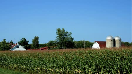 American Country Farm with corn plants field and blue sky in northern Minnesota