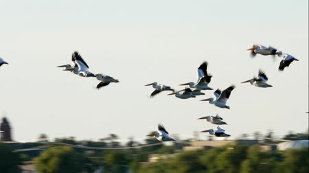 pelicans : Flock of American White Pelicans flying from Lake Irving in Bemidji Minnesota Stock Footage