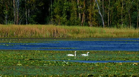Swans in forest lake wetlands swimming among lily pads on sunny day in Minnesota Стоковые видеозаписи