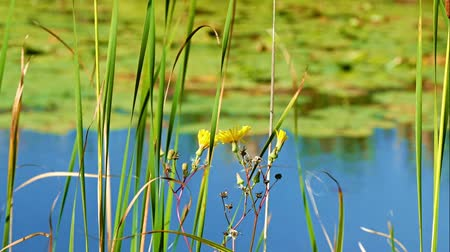 Yellow flowers and lily pads floating in the water at shore of lake in northern Minnesota with selective focus switching from near to far.