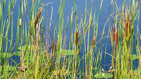 kotki : The reflections of cat tails and lily pads floating in the water at shore of lake in northern Minnesota