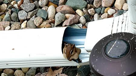 chipmunk : Chipmunk with stuffed cheeks looks cautiously out of downspout - funny, humorous, cute