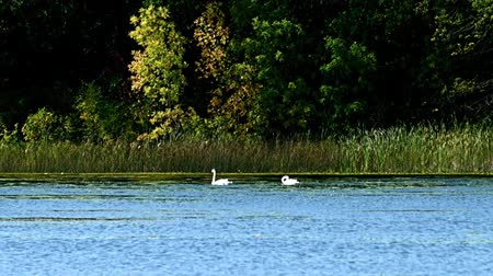 gracioso : Swans in forest lake wetlands swimming among lily pads on sunny day in Minnesota Vídeos