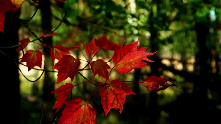 Authentic, living Red maple leaves fluttering in the wind in Minnesota forest