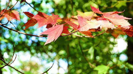 telített : Authentic, living Red maple leaves fluttering in the wind in Minnesota forest