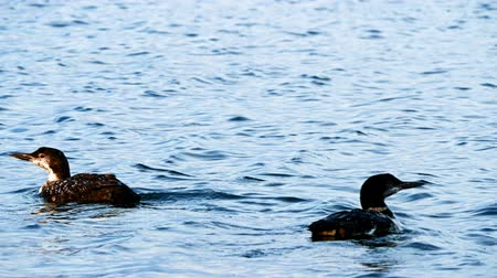 arquipélago : Common Loon, gavia immer, Minneaota state bird swimming on a lake in Bemidji