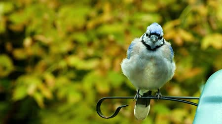 Beautiful bluejay bird (corvidae cyanocitta cristata) prepares for takeoff by stretching legs and wings, then flies away