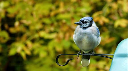 ave canora : Beautiful bluejay bird (corvidae cyanocitta cristata) - closeup clip turning around on perch
