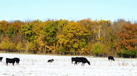 Angus cow beef cattle grazing in snow pasture in Minnesota on sunny autumn day with colorful leaves on trees