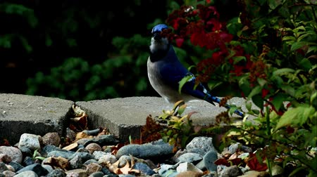 Beautiful bluejay bird (corvidae cyanocitta cristata) is chased away by black squirrel