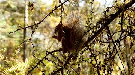 tricky : Adorable Red Squirrel, Tamiasciurus hudsonicus, eating and chattering while sitting on branch in northern Minnesota.