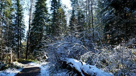 Large fallen tree along Schoolcraft hiking trail in Itasca State Park in Minnesota at the Mississippi River headwaters after early autumn snowfall. Стоковые видеозаписи