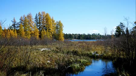 Mississippi River is seen about 300 feet from the source, Lake Itasca, in distance. Colorful Tamarack trees are seen on left along lake shore.
