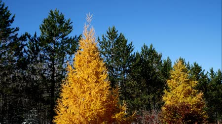 Tamarack Trees in Fall, yellow trees among evergreen pines in Minnesota Autumn Scene Стоковые видеозаписи