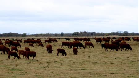 padok : Large Herd of Beef Cattle grazing in pasture. Cows, bulls, calves together in paddock on cloudy autumn day.