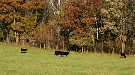 düve : Black Angus Beef Cattle grazing in pasture on sunny autumn day with leaves rustling in the tree branches nearby.