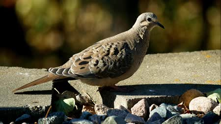 influenzy : Closeup of American mourning dove zenaida macroura walking in garden