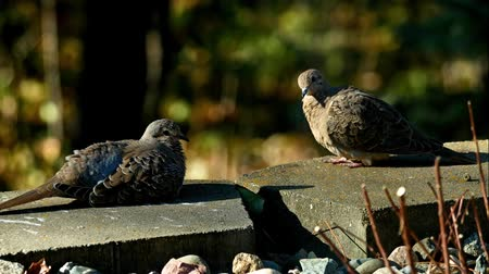 luto : Romantic pair of American mourning doves zenaida macroura - right one spreads wings
