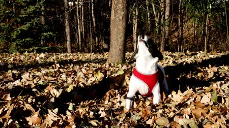 Happy black and white dog Terrier pulls on leash, playing in the autumn leaves