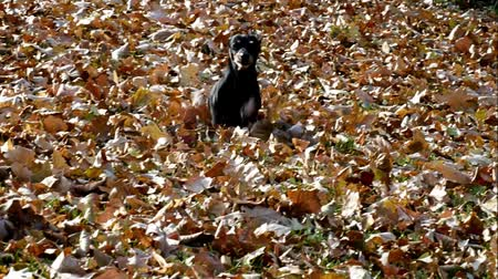 Happy black dog German Dachshund playing in the back yard, running through autumn leaves Стоковые видеозаписи