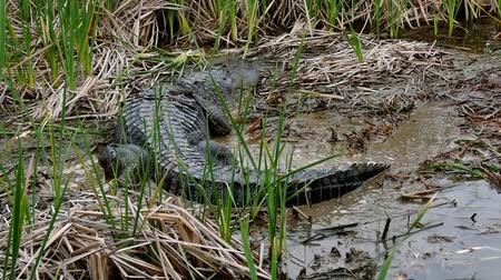 kamış : An American alligator crawling in mud of marsh at Port Aransas, Texas Nature Preserve.