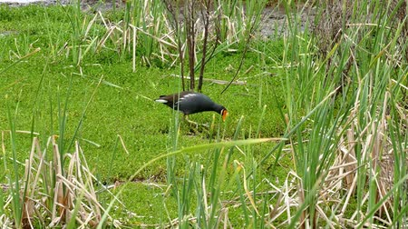 бронированный : Two clips of an American alligator, Alligator mississippiensis, and a Common Gallinule, Gallinula galeata, near each other in a marsh at a Port Aransas, Texas nature preserve. Стоковые видеозаписи