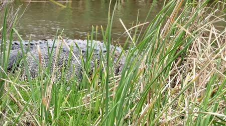An American alligator, Alligator mississippiensis, crawling in a marsh at a Port Aransas, Texas nature preserve. Wideo